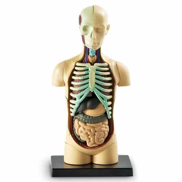 torso el cuerpo humano
